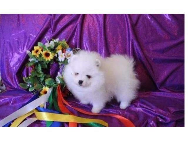Pomeranian Puppies For Sale Ready To Go Now Animals Phoenix