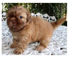 Shih Tzu Liver Female Puppy