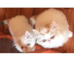 CFA Persian/Himalayan Kittens
