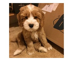 Very adorable female Labradoodle puppy.