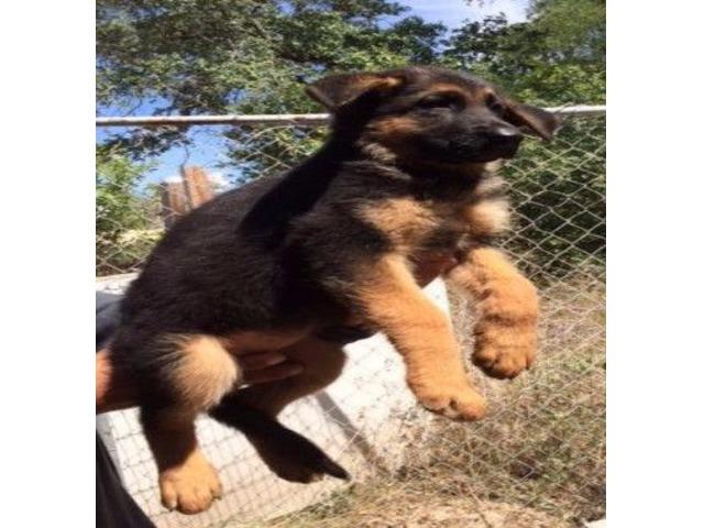 Quality Akc German Shepherd Puppies Animals Hico Texas