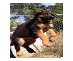 Quality AKC German Shepherd puppies