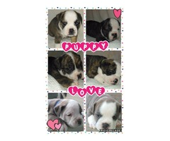 Old English Bulldog Puppies for sale