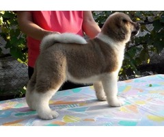 Our Unbeatable Akita puppies available