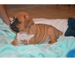 Our Unbeatable Boxer puppies available