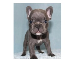 Our Unbeatable Blue French Bulldog puppies available
