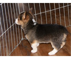 Our Unbeatable Corgi puppies available
