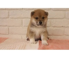 Our Unbeatable Shiba Inu puppies available