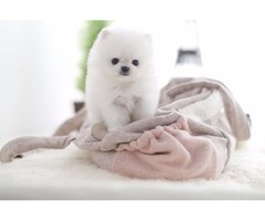 Our Unbeatable Pomeranian puppies available