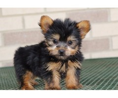Our Unbeatable Yorkshire Terrier puppies