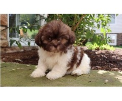 Our Unbeatable Shih Tzu puppies available