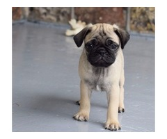 Our Unbeatable Pug puppies available