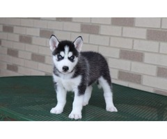 Our Unbeatable Siberian Husky puppies