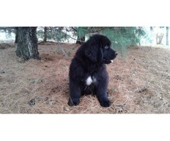 Our Lovable Newfoundland puppies available