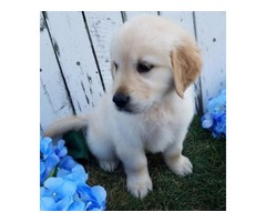 Our Lovable Golden Retriever puppies available