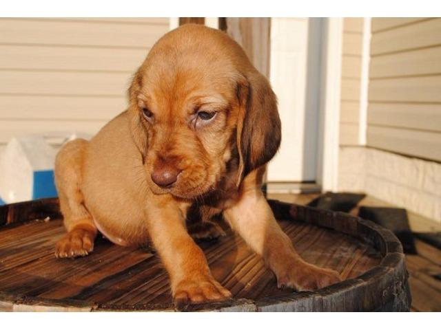 cute bloodhound puppy videos