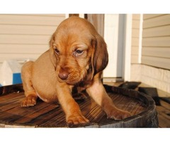 Our Lovable Bloodhound puppies available