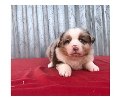 Our Lovable Australian Shepherd puppies