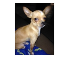 $$$REWARD$$$ LOST/STOLEN Male Chihuahua from Los Fresnos Tx