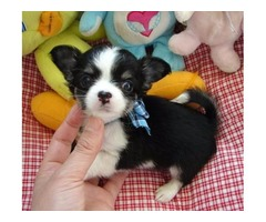 Affectionate Chihuahua available for adoption textnow (912) 551-6265