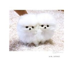 ABSOLUTELY STUNNING TINY WELL BRED HEALTHY POMERANIAN PUPPIES,