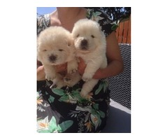Affectionate Female Chow Chow pups