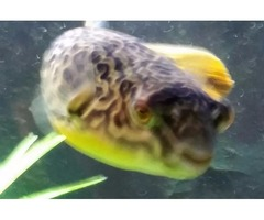 MBU-PUFFER FISH for sale