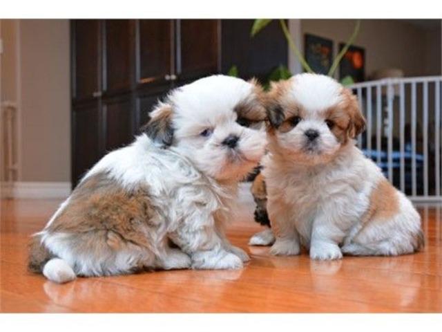 Male And Female Shih Tzu Puppies Animals El Paso Texas