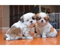 Male and female Shih Tzu puppies.