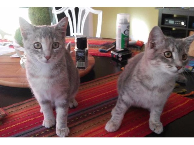 2 spayed cats free | free-classifieds-usa.com