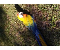 Yellow Camelot Macaw