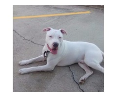 10 Month Trained Dogo