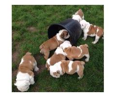 English Bulldog  Puppies male and female
