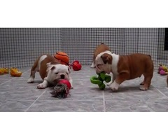 Stunning New English Bulldogs