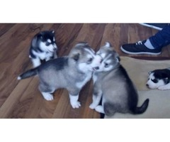 Expected Kc Reg Litter Siberian Husky Puppies