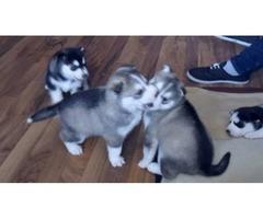 Expected Kc Reg Litter Siberian Husky Puppies