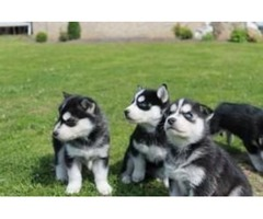 Kc Registered Siberian Husky Pups