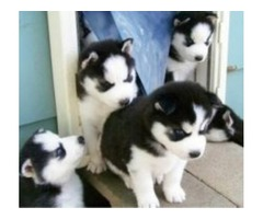 Siberian Husky Litter Confirmed And Due In Nov