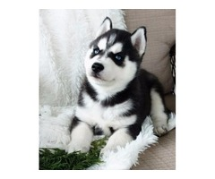 Pure Bred Adorable Blue Eyed Siberian Husky Puppies
