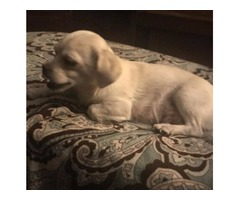 Small white lap dog. Very cute. Free