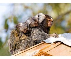 Breeding Pair Of Marmoset Monkeys for Sale $350.