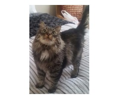 Beautiful Male Main Coon Cat Free