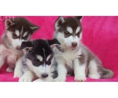 Siberian Husky Puppies Ready to go