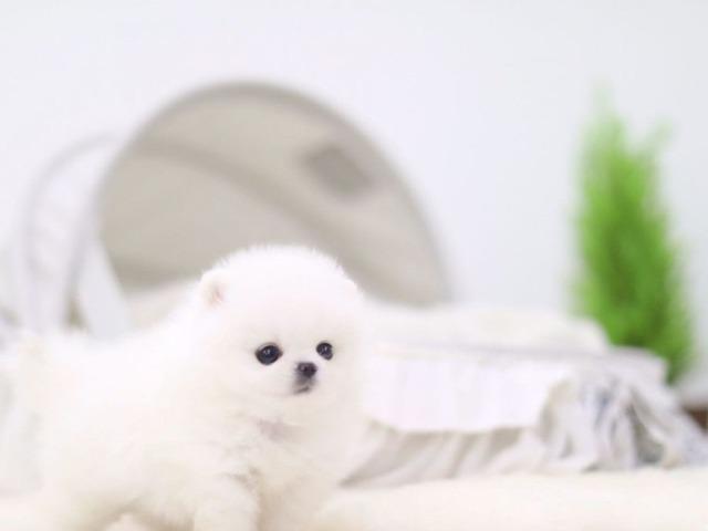 Amazing Micro Teacup Pomeranian Puppy Animals Houston Texas