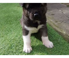 American Akita Puppies 2 Boys Available
