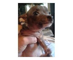 Ckc tiny blue Chihuahua puppies
