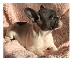 12 weeks old French Bulldog Ready to go.