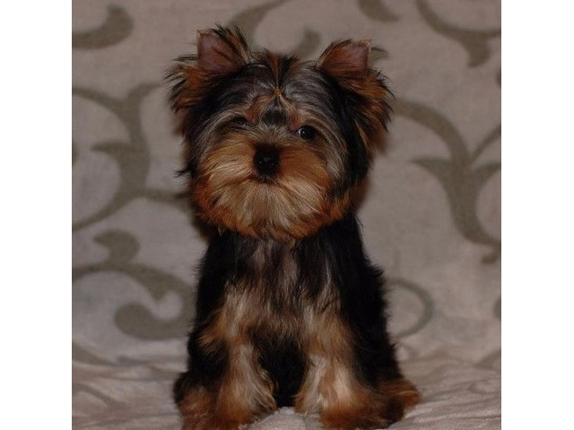 Male And Female Yorkie Puppies For Sale Animals Honolulu
