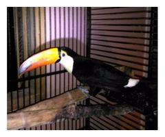 Lovely Toucans Birds