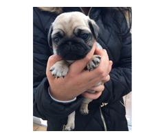 Playful Pug puppies, male and female